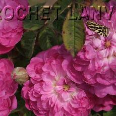 Rosa x centifolia  'Minima'
