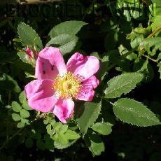 Rosa x mariae-graebnerae  'Drummer Girl'