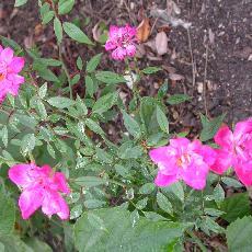 Rosa rouletii
