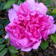 Rosa roxburghii  'plena'