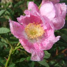 Rosa woodsii var. fendleri