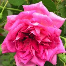 Rosa  'Alexandre Girault'