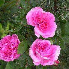 Rosa  'Anais Segalas'