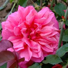 Rosa  'Archiduc Joseph'
