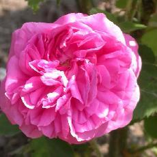 Rosa  'Baronne Prevost'