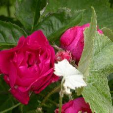 Rosa  'Beauté des prairies'