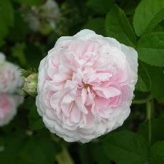 Rosa  'Belle Isis'