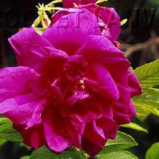 Rosa  'Belle Poitevine'