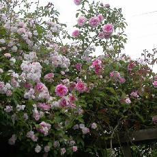 Rosa  'Blairi 2'