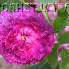 Rosa  'Boule de Nanteuil'