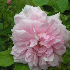 Rosa  'Cecile Brunner cl'