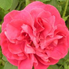 Rosa  'Cerise Bouquet'