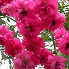 Rosa  'Chaplins Pink'