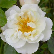 Rosa  'City of York'