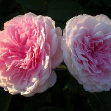 Rosa  'Clothilde Soupert'