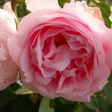 Rosa  'Comtesse de Barbantane'