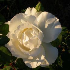 Rosa  'Croix blanche'