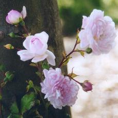 Rosa  'Débutante'