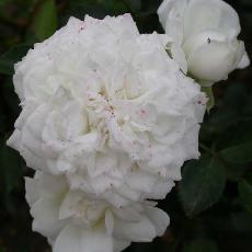 Rosa  'Denise Cassegrain'