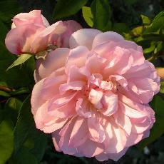 Rosa  'Desprez à Fleurs Jaunes'