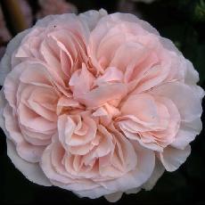 Rosa  'Devoniensis cl'
