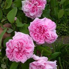 Rosa  'Enfant de France'