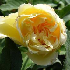 Rosa  'Etoile de Lyon'