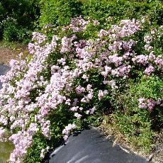 Rosa  'Euphrosyne'