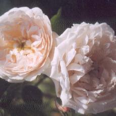 Rosa  'Eurydice'