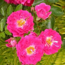 Rosa  'Excelsa'