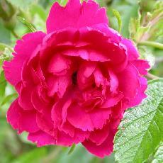 Rosa  'F. J. Grootendorst'