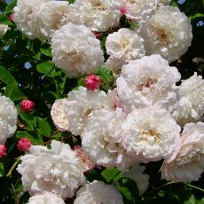 Rosa  'Felicité et Perpétue'