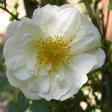 Rosa  'Gardenia'