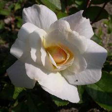Rosa  'Irène de Danemak'