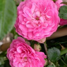 Rosa  'Jean Girin'