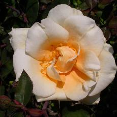 Rosa  'Lady Hillington CL'