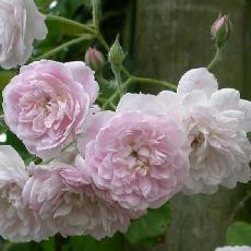 Rosa  'Laure Davoust'