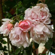 Rosa  'Leontine Gervais'