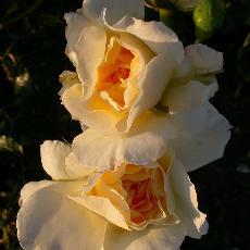 Rosa  'Leverkussen'