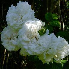 Rosa  'Long John Silver'