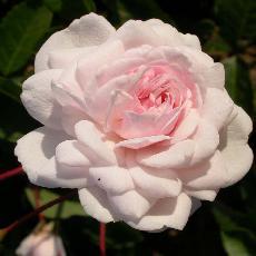 Rosa  'Marie Pavie'