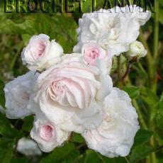 Rosa  'Mauricette Sistan'