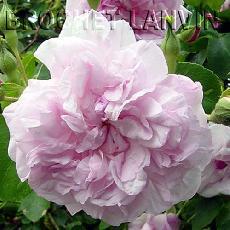 Rosa  'May Queen'