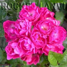 Rosa  'Mme Norbert Levavasseur'
