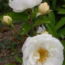 Rosa  'Pâquerette'