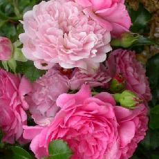 Rosa  'Paul Ploton'