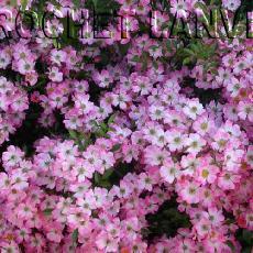 Rosa  'Pink Spray'