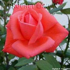 Rosa  'Prins Claus'