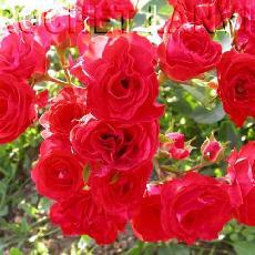 Rosa  'Red Bells'