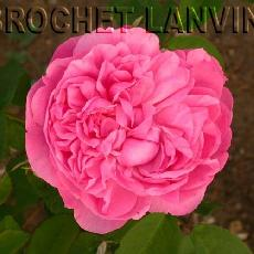 Rosa  'Sidonie'